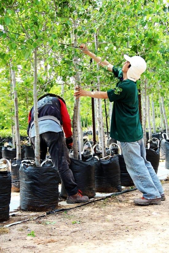 עובדים מטפלים בעצי משתלה
