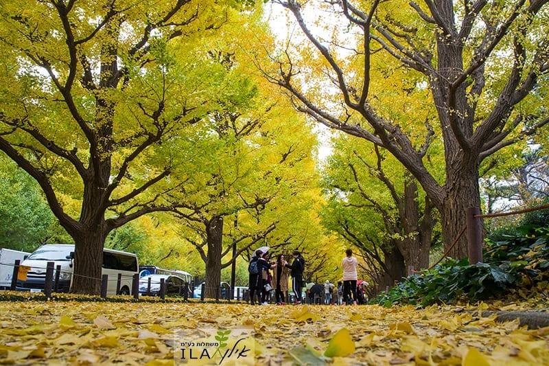 שדרת עצי גינקו
