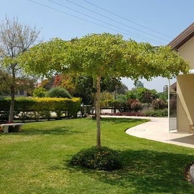 סיסם הודי כיפתי מעוצב בגינה