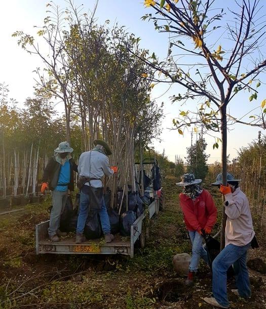 איסוף עצים עקורים