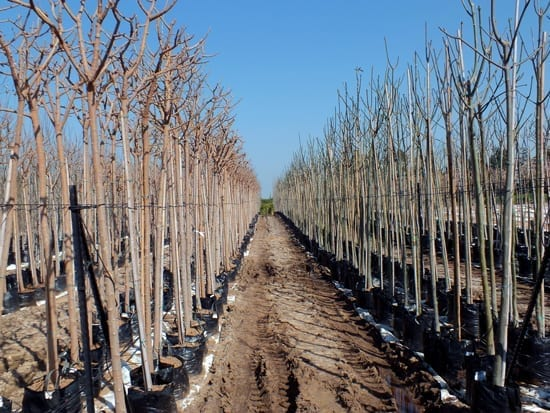 שורות עצים עקורים במשתלה