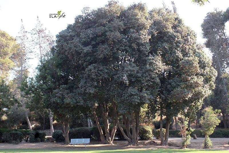 עץ אדר סורי בוגר בפארק