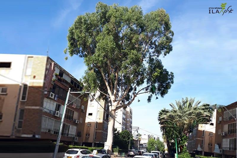 עץ איקליפטוס לימוני בוגר ברחוב