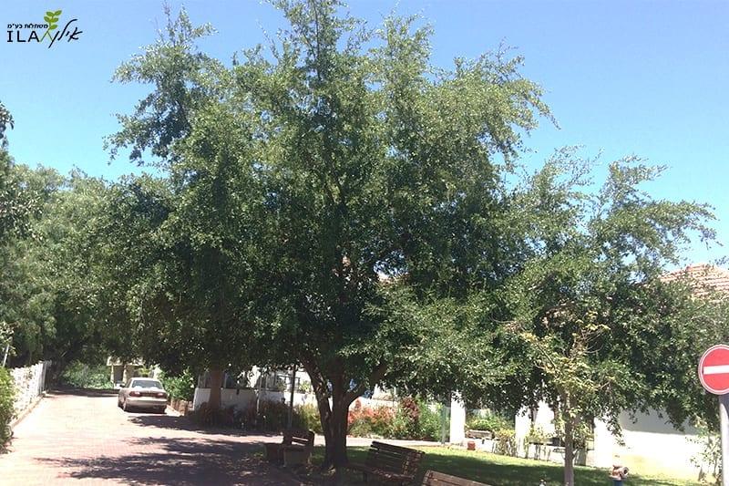 עץ אלון וירג'יניאני