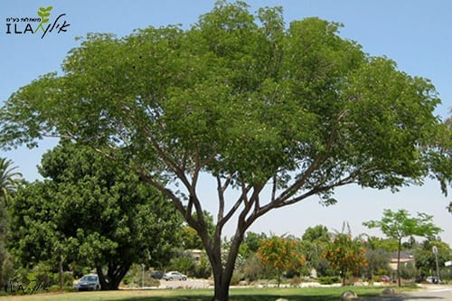 עץ אנטרולוביום
