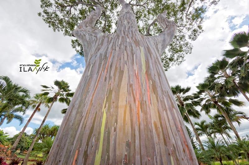 אקליפטוס האיים - גזע צבעוני
