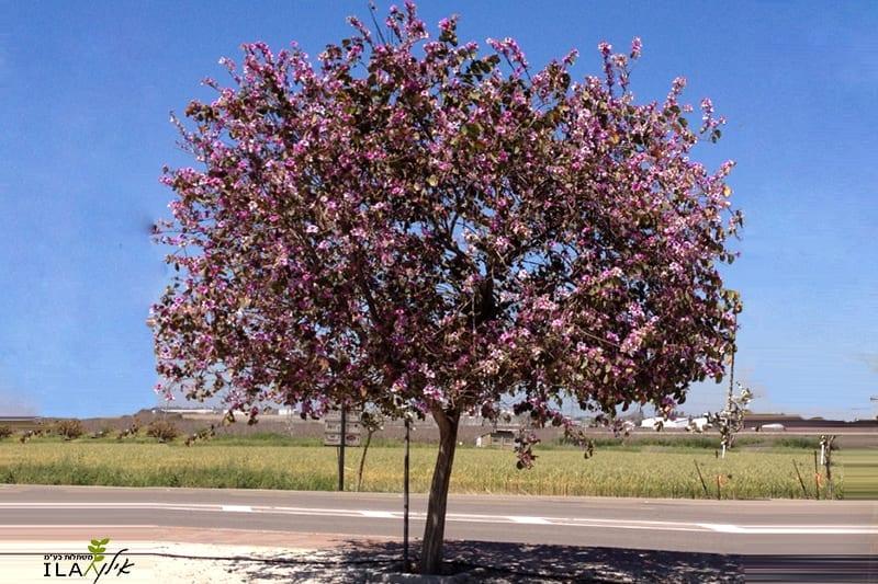 עץ בוהיניה ורודה