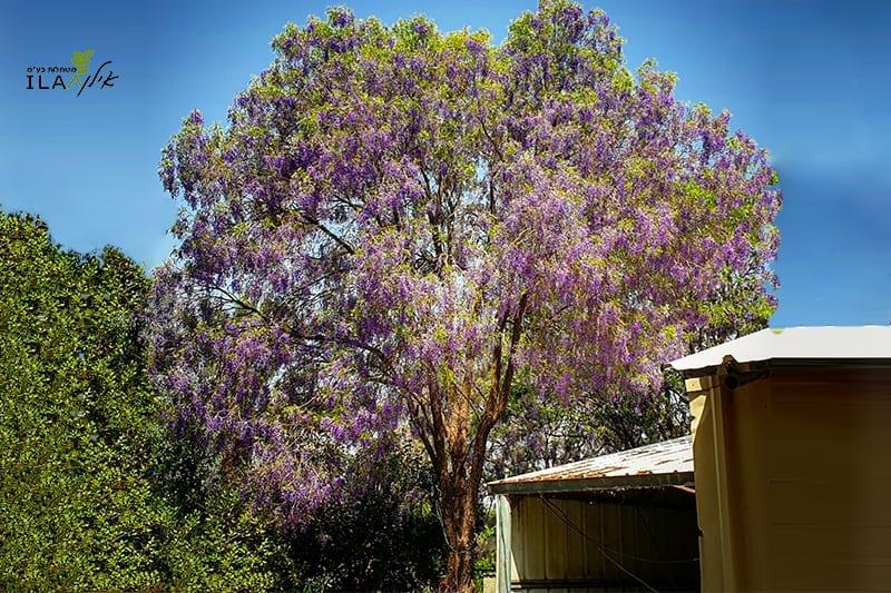 עץ בולוסנטוס נאה פורח בסגול