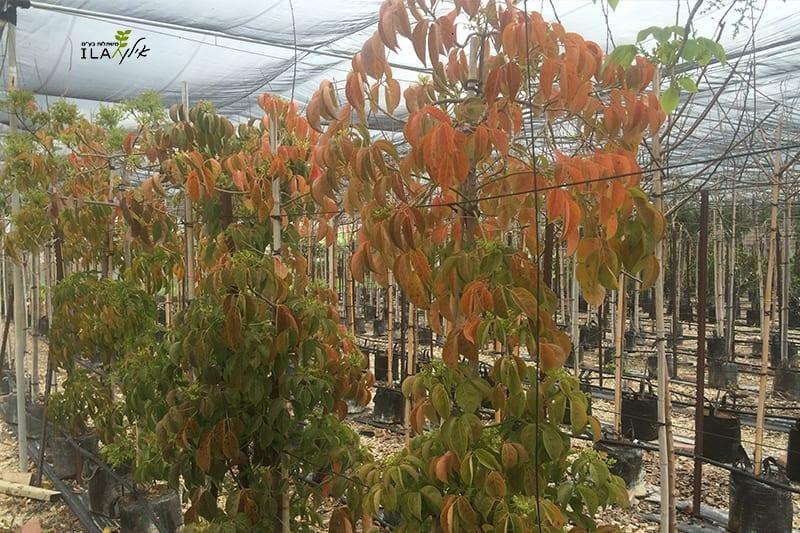 עצי בישופיה צעירים בחממה