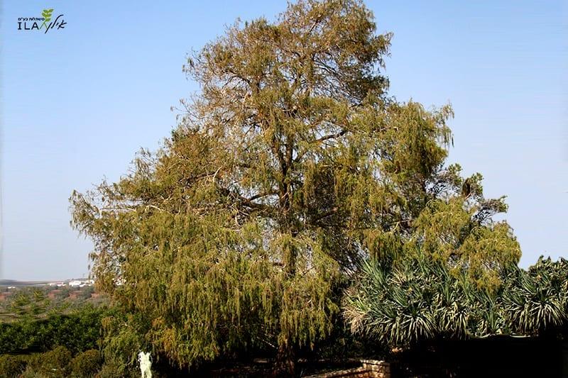עץ ברוש הביצות בוגר