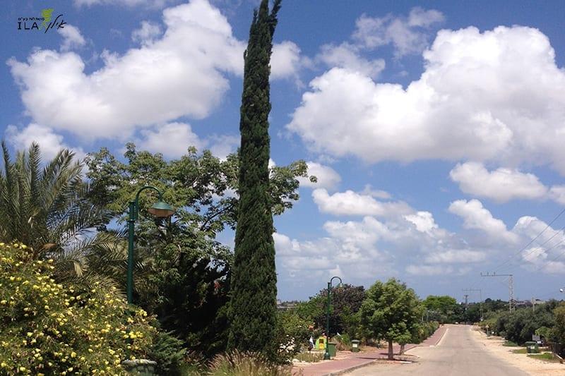 עץ בודד - ברוש מצוי איטלקי