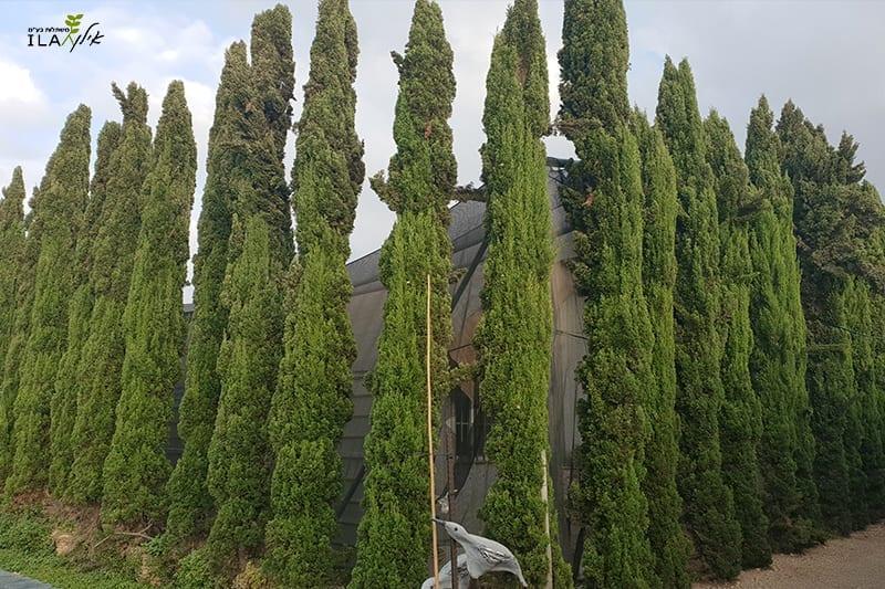 שורת עצי ברוש מצוי טוטם