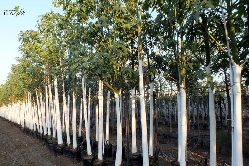 עצי ברכיכיטון דו גוני צעירים