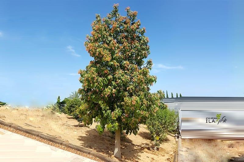 עץ ברכיכיטון פינק אדרי