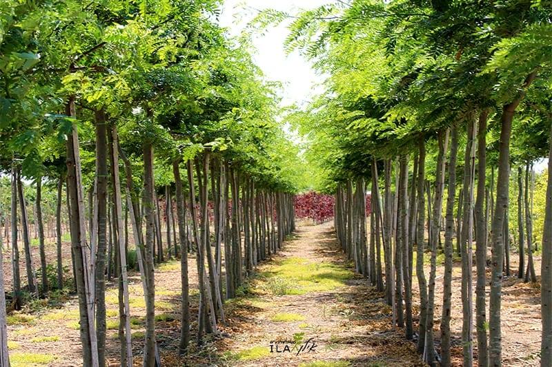 עצי גלדיציה במשתלה