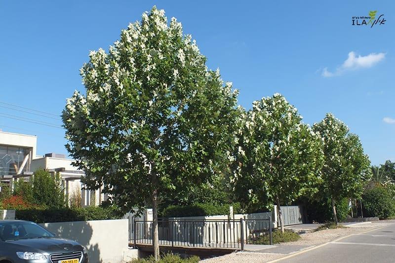 עצי דולב מקסיקני