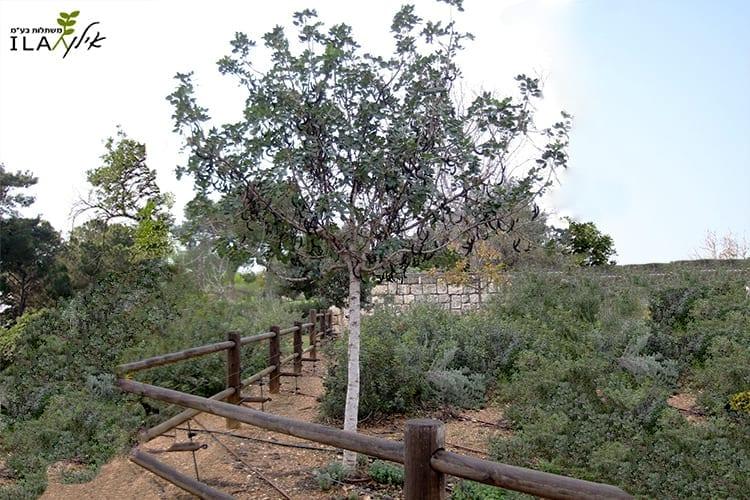 חרוב נקבה - עץ חורש