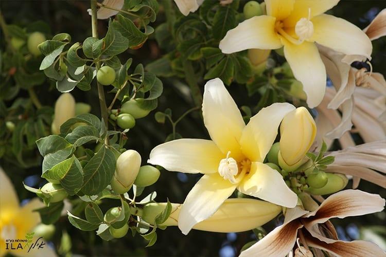כוריזיה בקבוקית - פרחים