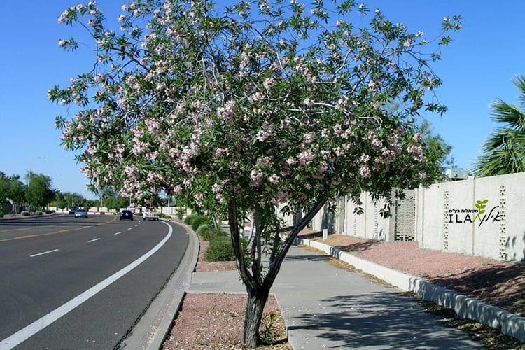 עץ צ'יטלפה