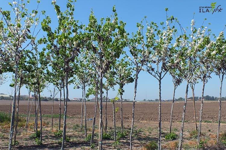 עצי כליל החורש לבן צעירים