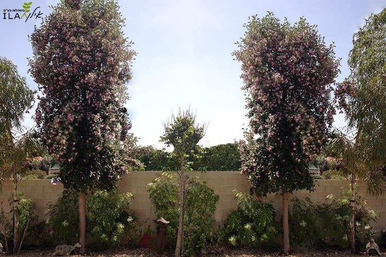 שני עצי לגונריית פטרסון צעירים פורחים