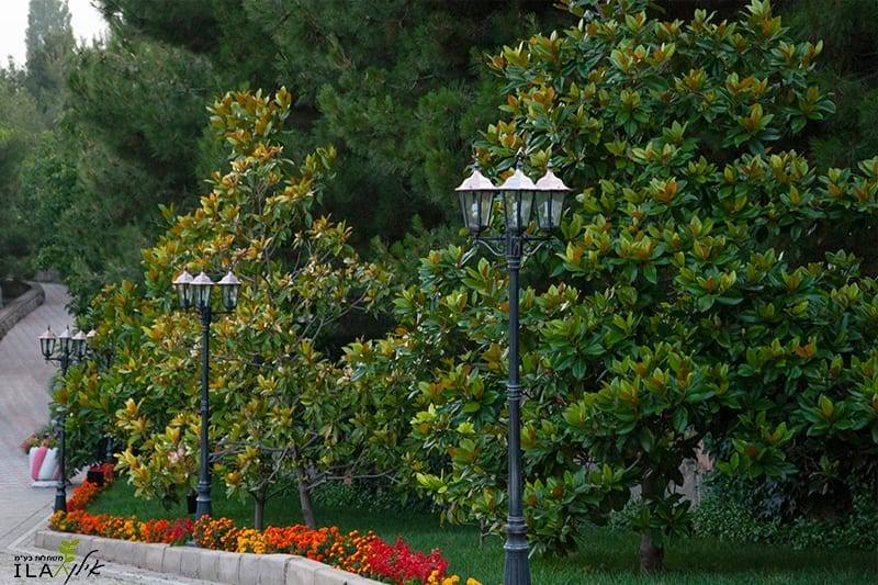 מגנוליה גדולת פרחים כעץ רחוב