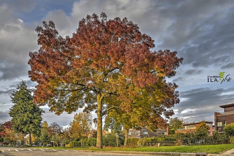 עץ בוגר - מילה חדת עלים רייווד