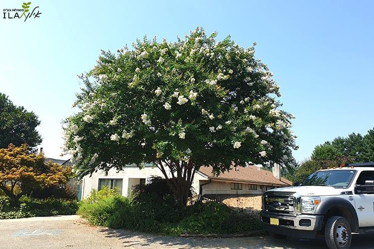 עץ לגרסטרמיה לבנה בוגר פורח