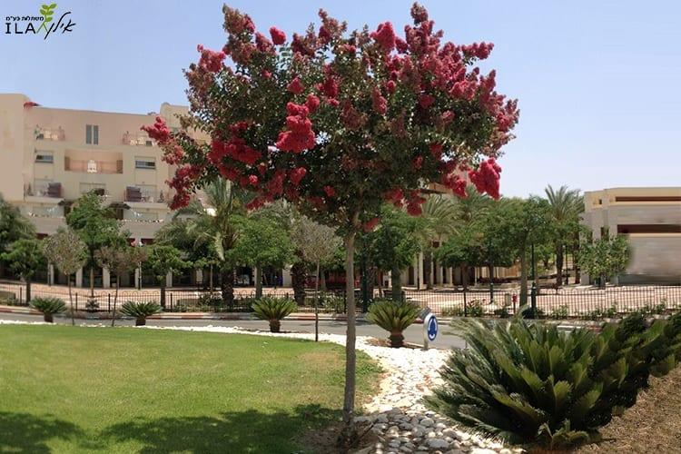 עץ רחוב לגרסטרמיה ורודה פורח