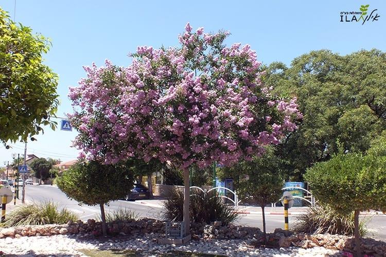 עץ לגרסטרמיה לילך פורח בכיכר