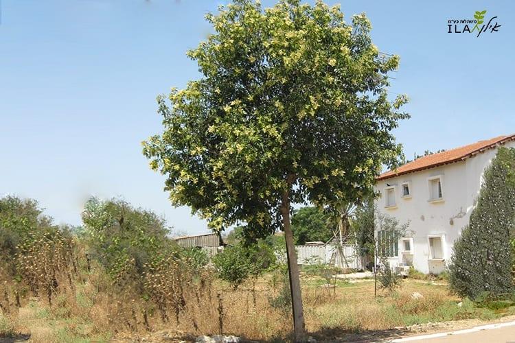 עץ ליגוסטרום יפני צעיר