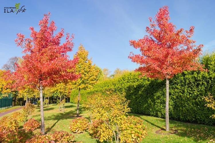 עצי ליקווידמבר ליבני בצבעי שלכת