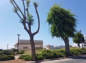 עצים עם נוף חסר פרופורציות לגזע