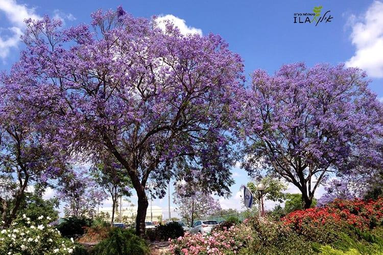 שני עצי סיגלון בוגרים