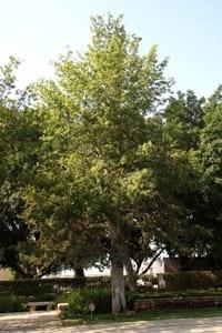 עץ רחוב - סיסם הודי