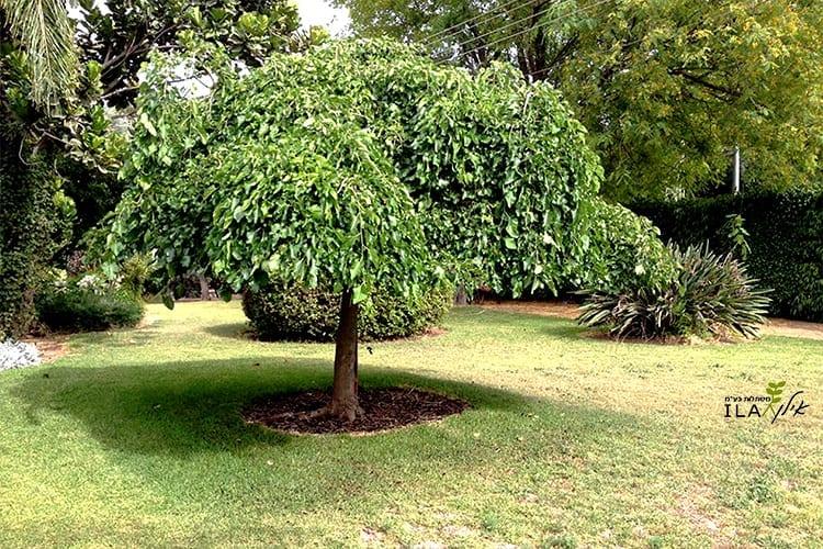 עץ תות בכותי במדשאה