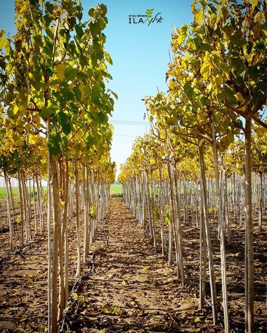 שורות עצי משתלה תות עומרי בצבעי שלכת