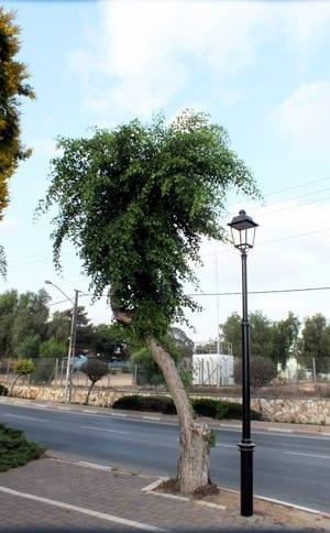 עץ גזום בצורה לא מאוזנת