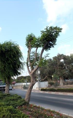 עץ גזום באופן מופרז